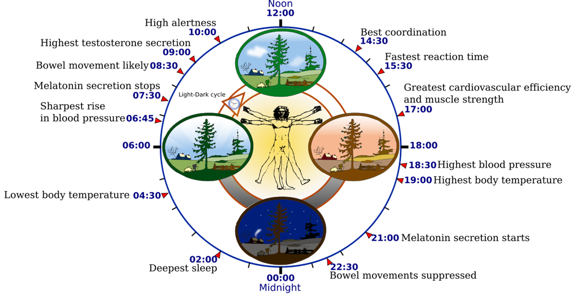 1200px-Biological_clock_human.