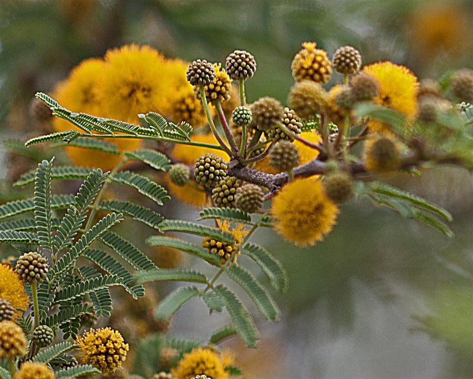 Acacia-farnesiana