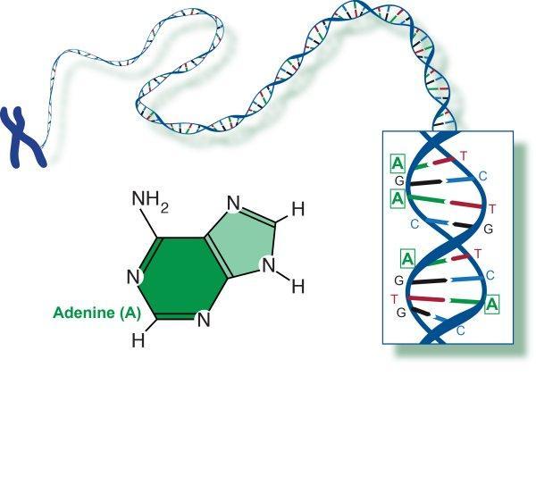 Adenine and DNA