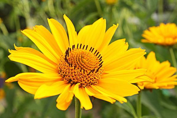 Arnica Flowerjpg
