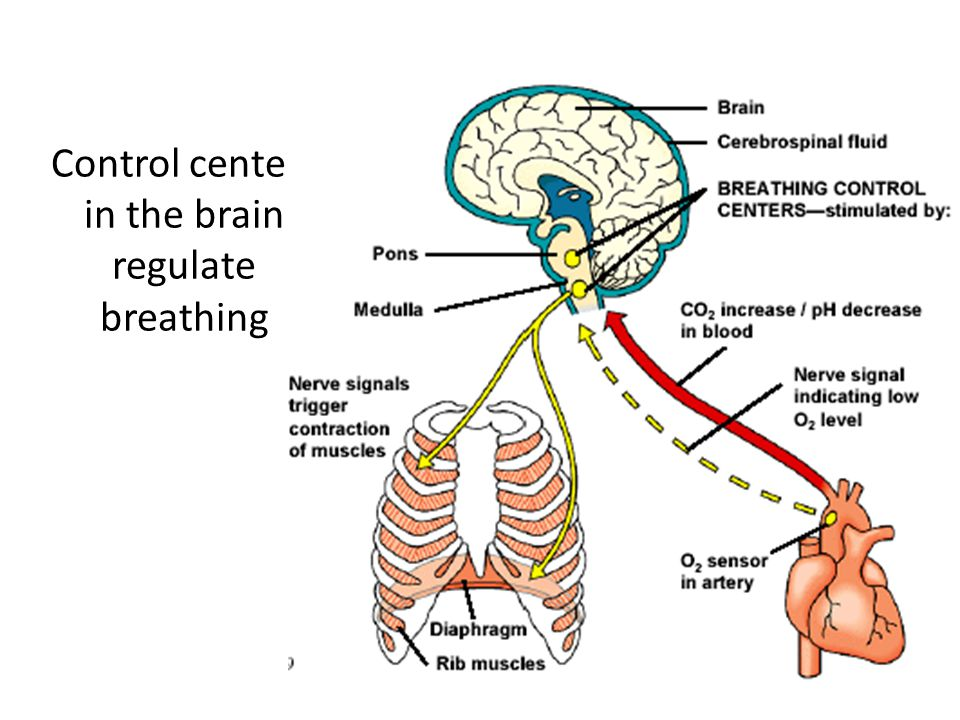 neural control of respiration pdf