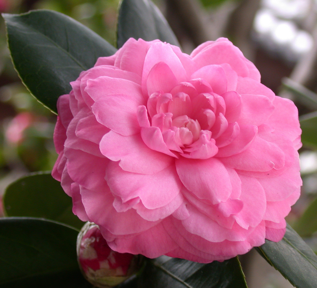 Camellia Oil The Beauty Secret Of The Gieshas Beauty Blog Makeup