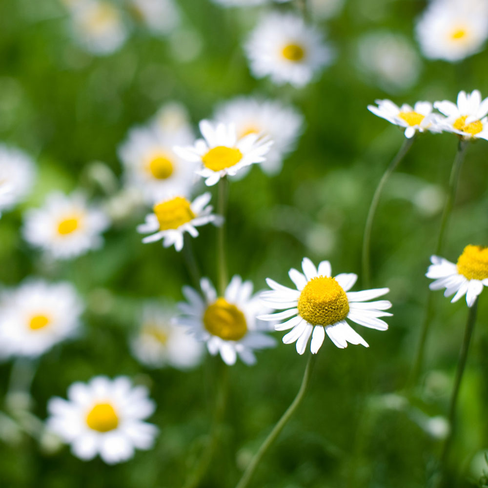Chamomile (Roman:German) Essential Oil