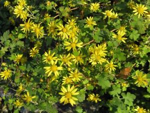 Chrysanthemum_indicum1