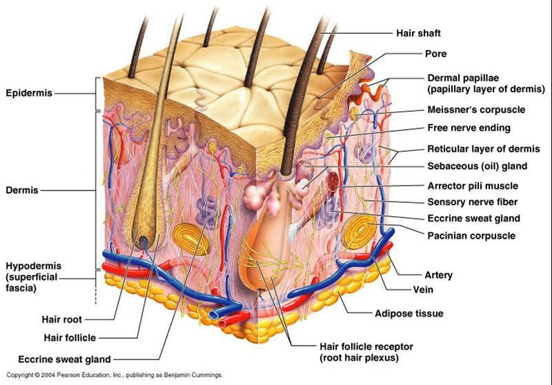 Inside hair follicle