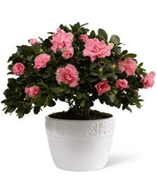 My Pretty Pink Azalea