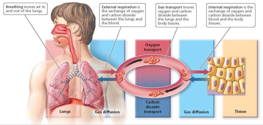 Respiratory system gas exgange
