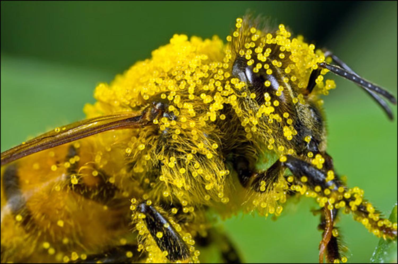 bee_pollen_macro