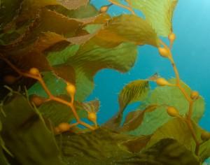 brown-algae-lg