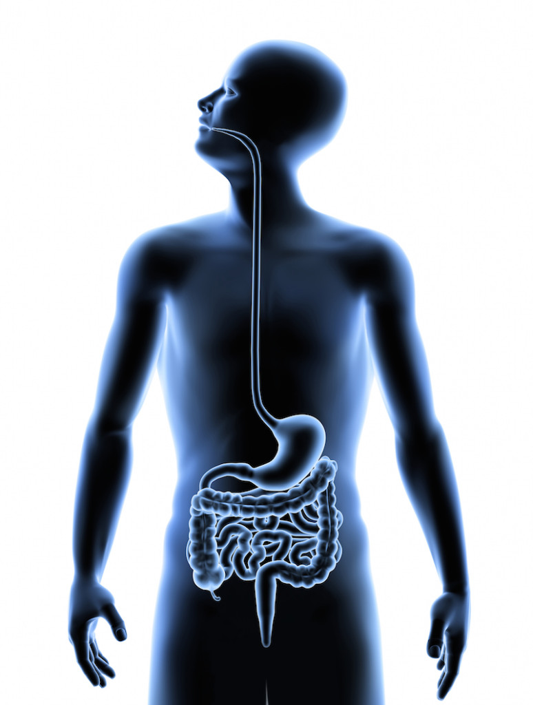 digestive system on white back