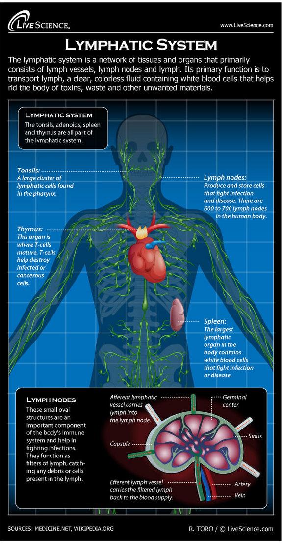 human-body-lymphatic-130729