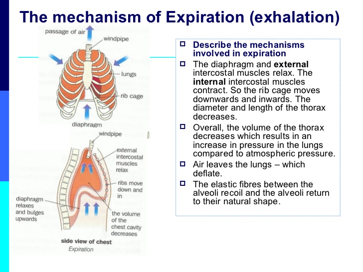 lesson-5-mechanisms-of-ventilation-7-728