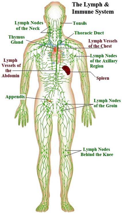 lymphsystem green full body 12-5-14
