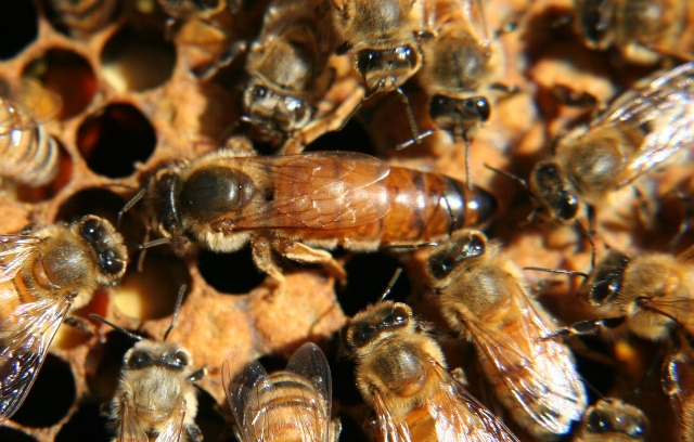 queen-bee